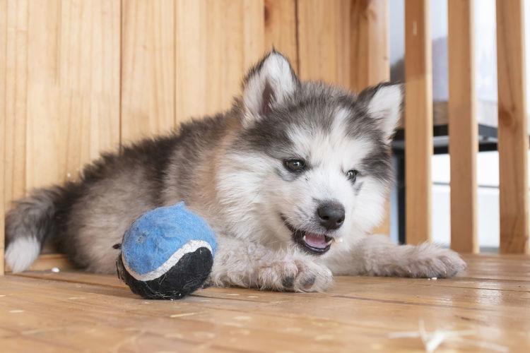 Dog resting on hardwood floor