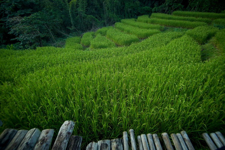 Plant Tea Crop