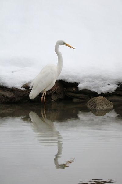 Crane In The Snow! Animals In The Wild One Animal Animal Wildlife Animal Themes Bird Nature Water No People Full Length Great Egret Lake Egret Beauty In Nature Outdoors Perching Scenics Day