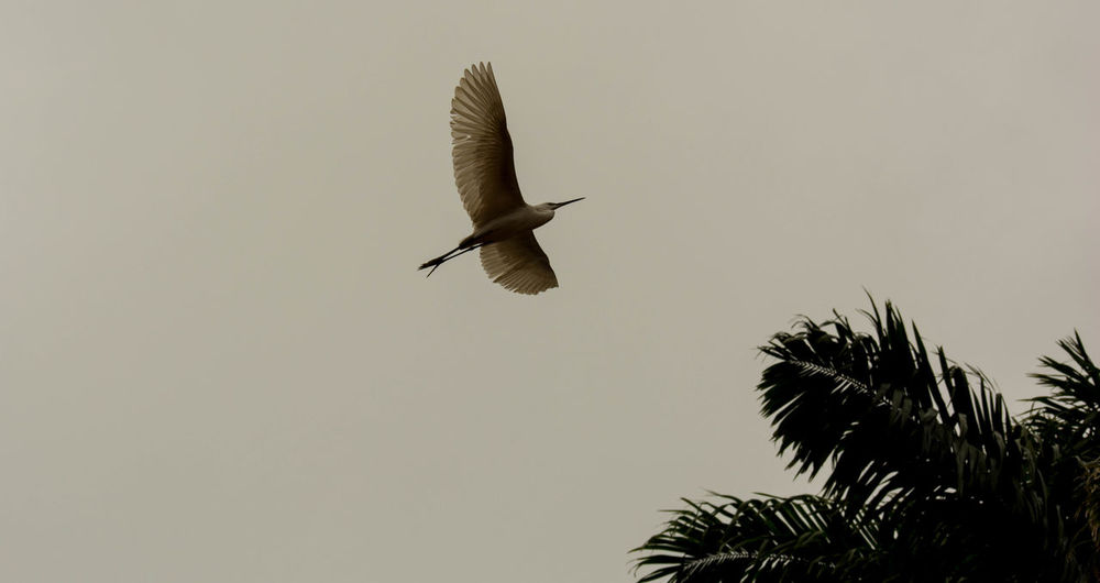 Animal Themes Animal Wildlife Animals In The Wild Bird Clear Sky Day Flying Nature No People One Animal Outdoors Spread Wings Spread Wings Bald White