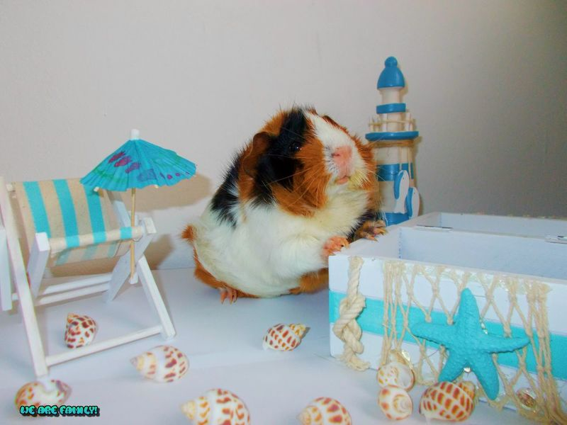 Animal Themes Guineapig Home BeautifulPets Indoors  Pets Phantasy Domestic Animals Fuzzy #peaches #candy #sweets