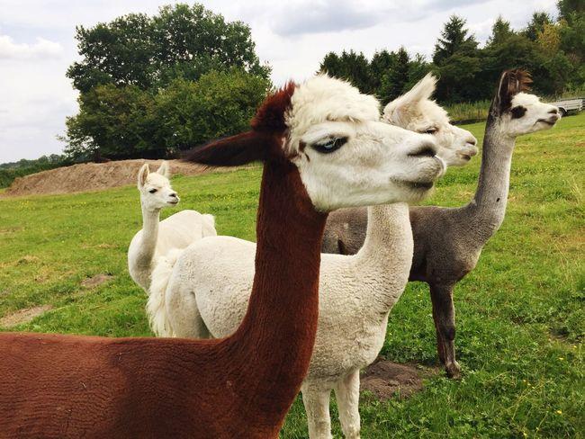 Animals Farm Alpaca Animal Farm Life