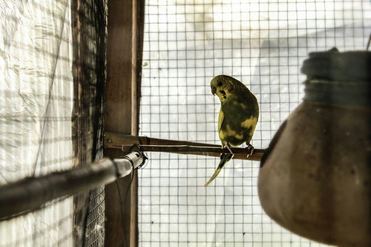 Parrots Birds Cages Cagedwings Colors Flying Machine Multan Okara Pakistan Pet Photography
