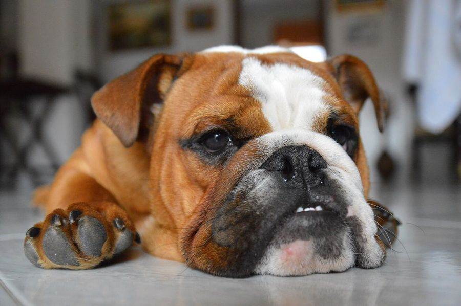Dog Domestic Animals Bulldog Bulldogs Cane Colori Pieghe Amore One Animal Pets Felicità