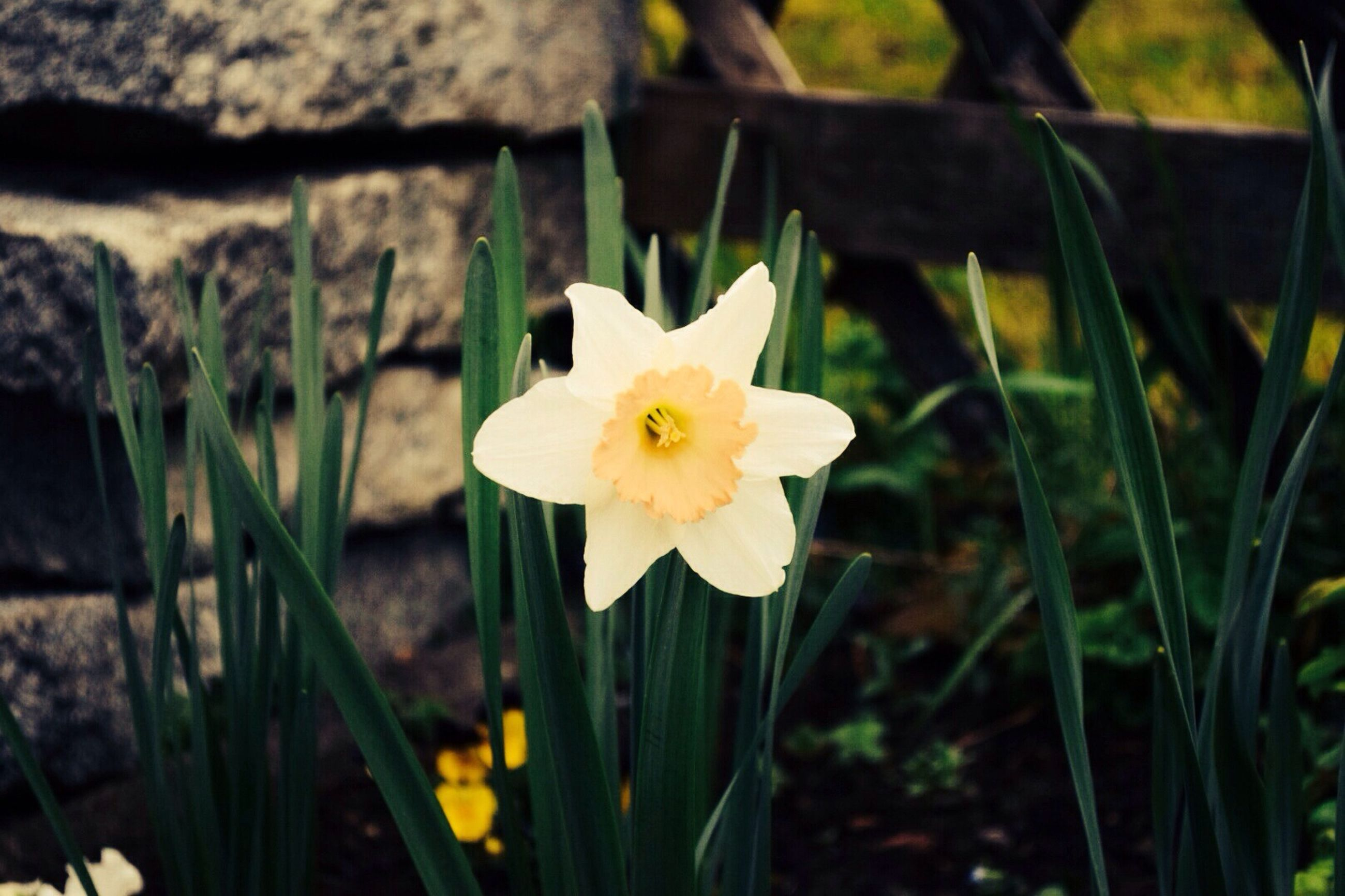 flower, petal, freshness, flower head, fragility, growth, beauty in nature, yellow, blooming, focus on foreground, close-up, field, nature, plant, single flower, pollen, in bloom, stem, daffodil, day
