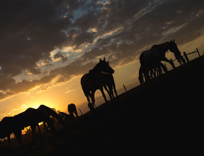 Horses silhouette under sunset Equestrianism Equines Haras Horse Horses Mammal Mares Nature Silhouette Sunset Warm Colors