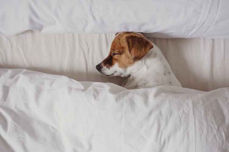 cute tender white and brown jack russell sleeping on a bed under a white cover. Winter and relax concept One Animal Pets Domestic Domestic Animals Animal Themes Animal Mammal Furniture Bed Vertebrate No People Indoors  Relaxation Cute Small Dog Petal Indoors  Bed Bedroom White Sheets Covering Daytime Jack Russell Terrier Sleeping Sleepy Home Interior Lifestyle Relaxed Moments Relaxing Morning Portrait