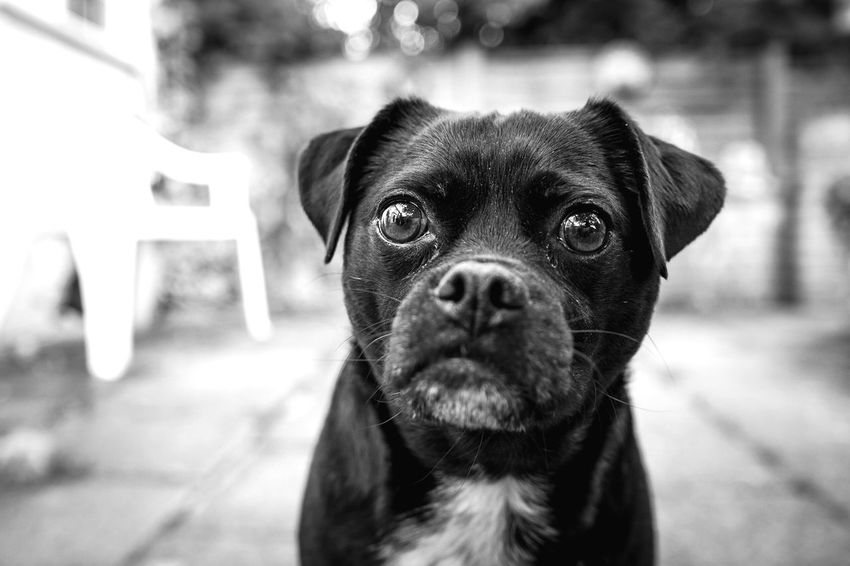 Ready for his close up Dog Pets Domestic Animals Mammal Animal Themes One Animal Focus On Foreground Portrait Looking At Camera Outdoors Day No People Close-up Jackrussell Pug Pet Photography  Pets Corner Dogs Of EyeEm Bnw_collection Blackandwhite Black And White Pet Portraits Black And White Friday