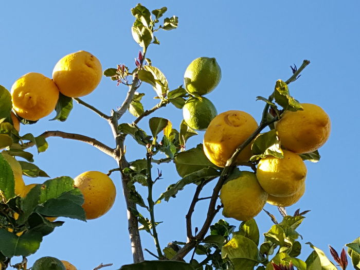 Citrons Lemons Yellow Blue Blue Sky Fruit Citrus Fruit Lemon Food And Drink Lemon Tree Leaf Growth Healthy Eating Agriculture Freshness Yellow Tree Low Angle View Hanging Ripe
