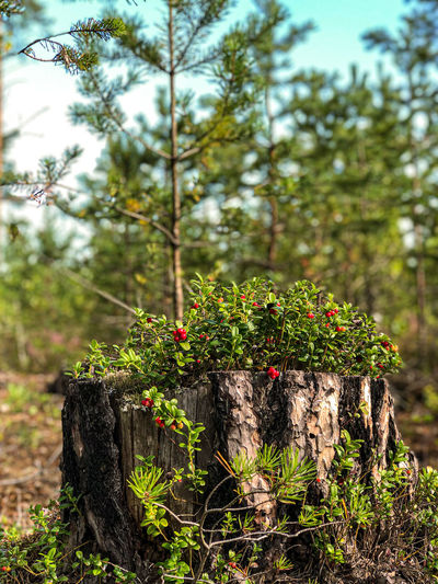 Close-up of plant growing on tree stump in forest