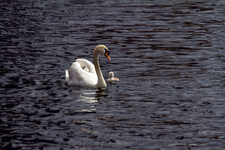 Swans Cygnets Babies Fragile Mother Family Cute Water