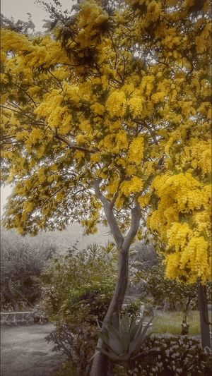 Mimosa Tree Nature Yellow Beauty In Nature Growth No People Tranquility Outdoors Day Scenics Mimose Flowers Branch Close-up