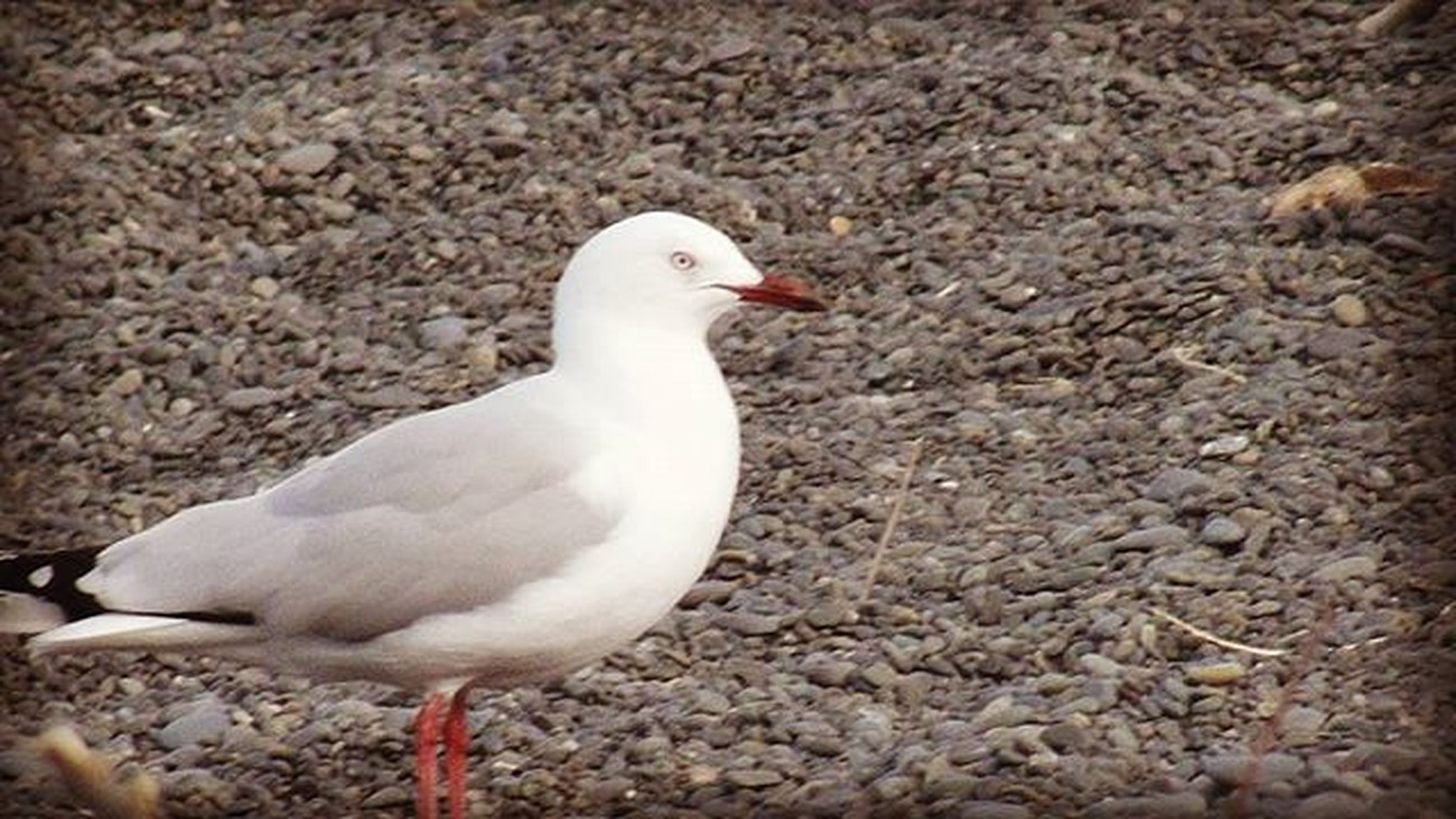 bird, animal themes, animals in the wild, wildlife, one animal, white color, beak, nature, outdoors, full length, high angle view, day, zoology, side view, no people, close-up, feather, seagull, white, beauty in nature