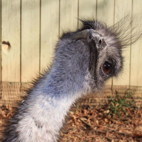 One Animal Close-up No People Animal Head  Emu Outdoors Zoo Animals  Zoophotography Zoo Animal Themes Day