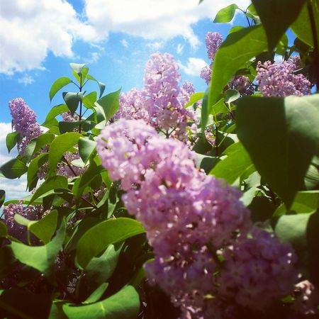 Taking Photos Check This Out Enjoying Life Lilac Bush Lilac Color Lilac Tree Lilac Flowers Lilac Flower Garden Photography Tree_collection  Beautiful Nature Clouds And Sky