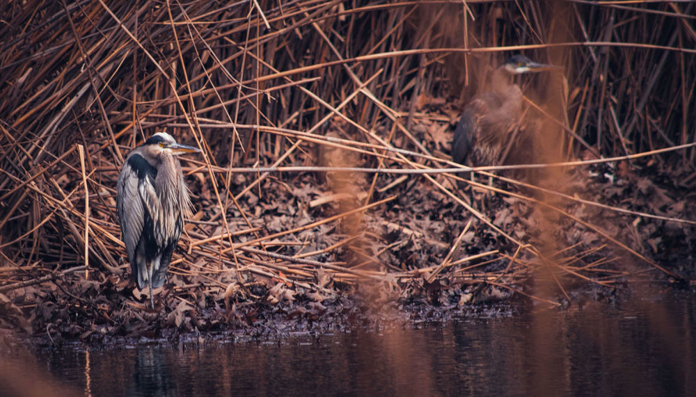 Animal Themes Wildlife Photography Wildlife & Nature Grey Heron On The River Shore Wildlife Nature Photography Nature On Your Doorstep Nature My Unique Style My Point Of View EyeEm Nature Lover Animal Wildlife Natural Beauty EyeEm Animal Lover Beautiful Nature Riverside Photography Riverside Wildlife Riverside EyeEm Birds Beautiful View