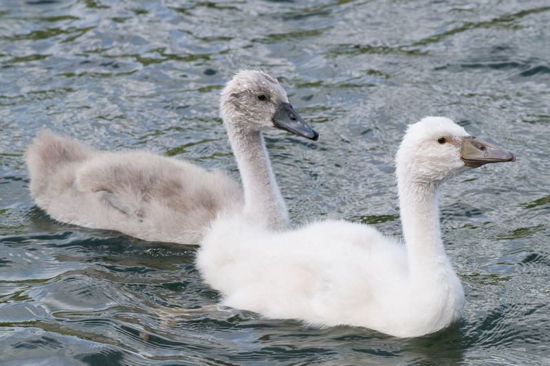 Cygnets Swimming In Lake