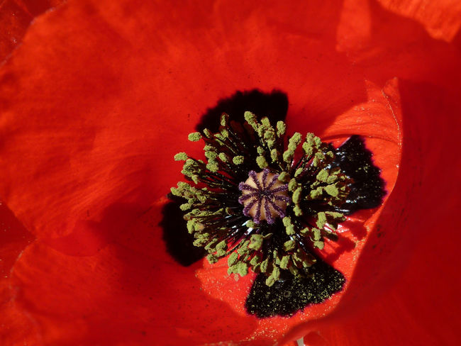 Beauty In Nature Blooming Close-up Detail Flower Flower Collection Flower Head Flowerporn Flowers Flowers, Nature And Beauty In Bloom Micro Nature Nature Photography Petal Pollen Poppies  Poppy Poppy Flowers PoppySeed Red First Eyeem Photo