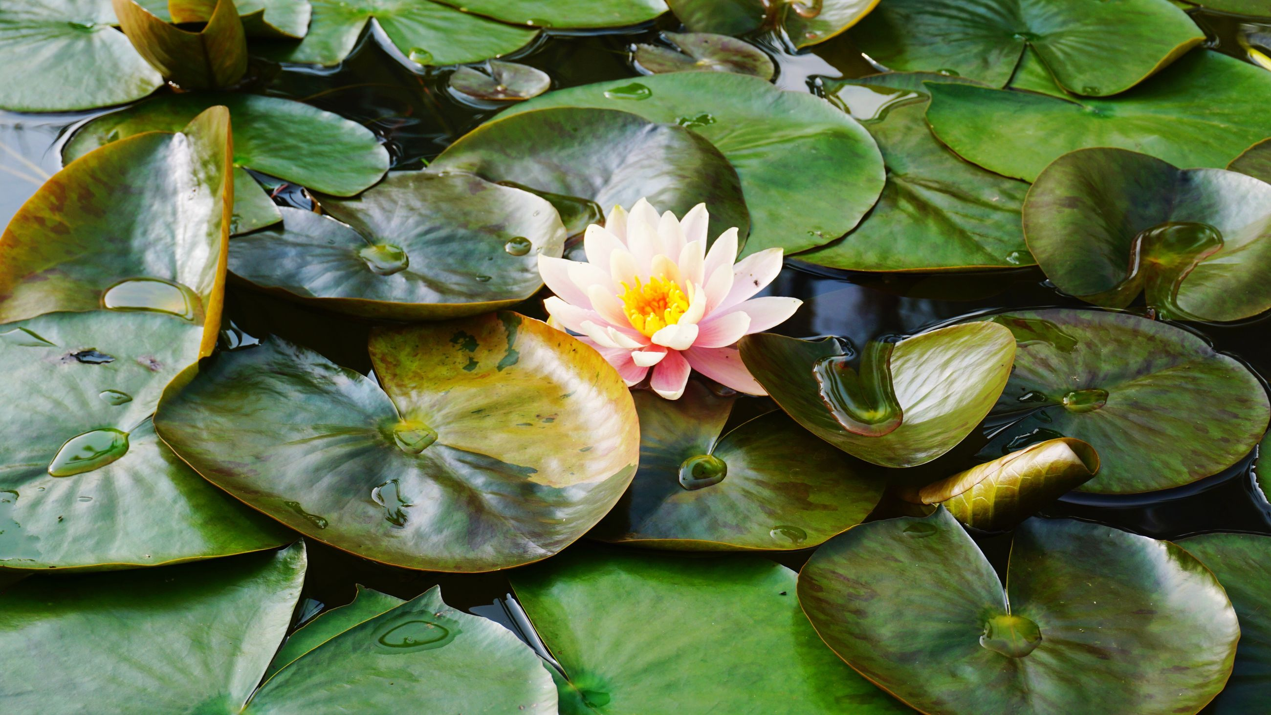 HIGH ANGLE VIEW OF PINK LOTUS WATER LILY IN POND