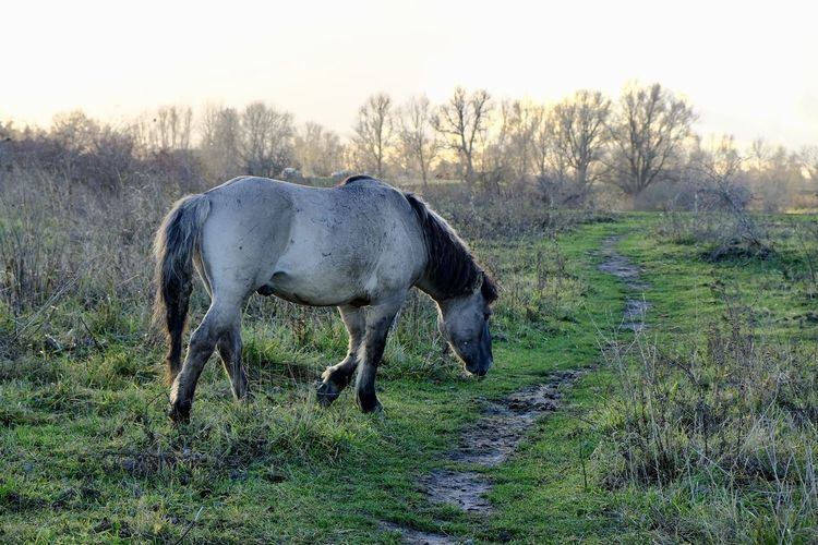 Wilde horse.