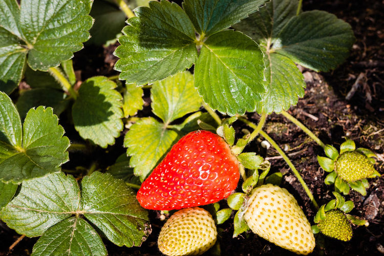 High angle view of strawberries growing on field