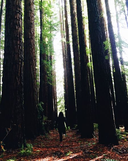 Into the woods Californian Redwood Trees Forest Woods Wild Things Are Travel Australia Melbourne Warburton