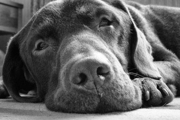 Dozing Black & White Relaxing Close-up Pets Gundogs Dogs Labrador