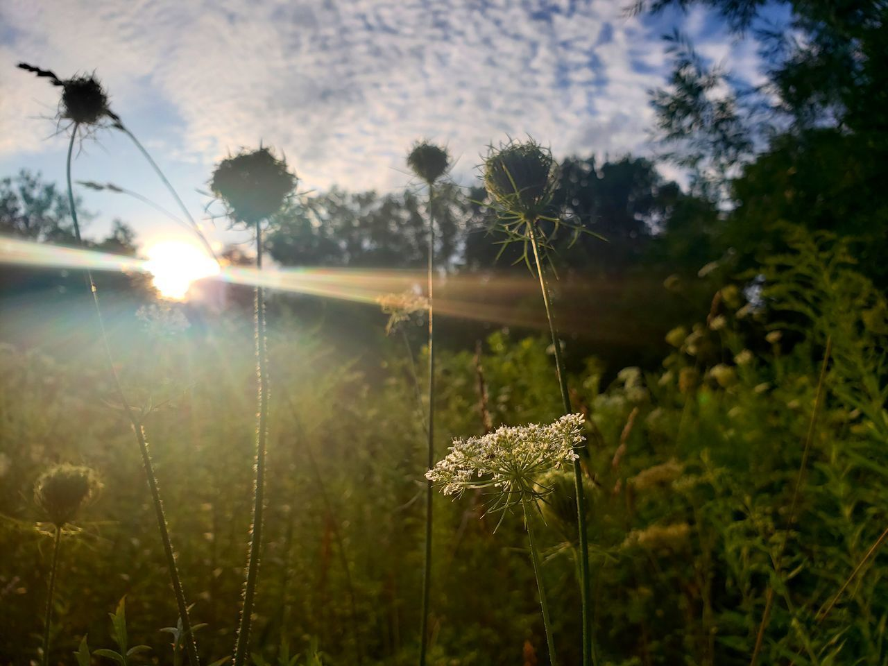 plant, growth, beauty in nature, nature, tranquility, focus on foreground, fragility, vulnerability, sunlight, no people, sky, land, day, field, flower, close-up, flowering plant, sun, grass, tranquil scene, outdoors, lens flare