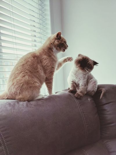 Those cats 💕 Having Fun Boxing Ring Boxing Cats Ready To Fight Love Love Between Animals Love Between Cats Lovely Cat Sitting Kitten Cat Domestic Cat Feline Persian Cat  Siamese Cat Pets