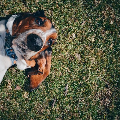 Cooper Domestic Animals Dog Pets Animal Themes One Animal Grass Mammal Animal Head  Field Grassy Looking At Camera Green Color Outdoors Day Grassland Animal No People Zoology Loyalty Dogs Basset Hound Bassethound Basset