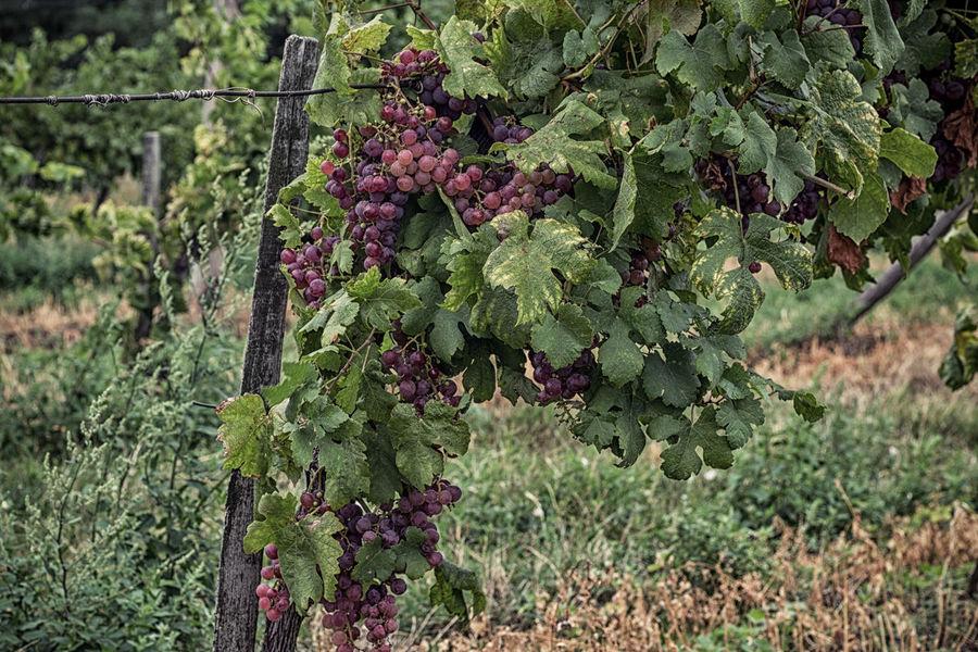 Agriculture Freshness Fruit Green Color Growth Hungarian Vineyard Nature Rural Scene Vineyard Wine Badacsony Badacsony Wine Region Neighborhood Map Live For The Story