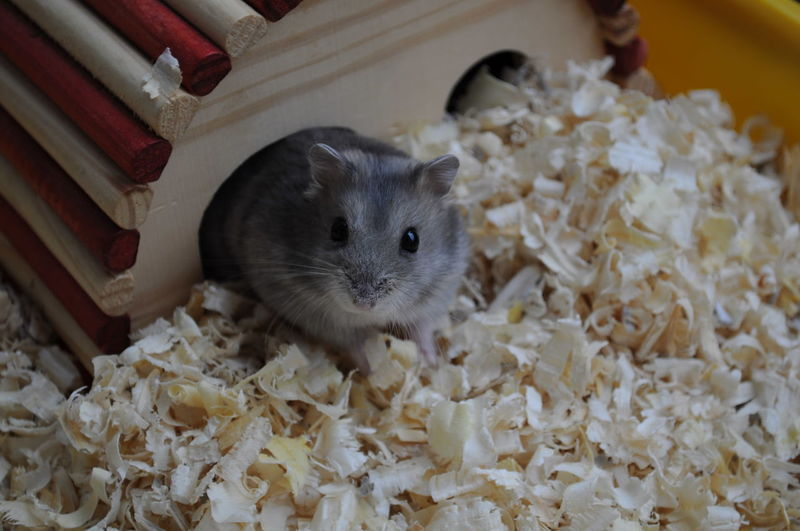 Close-up of mouse on wood shavings