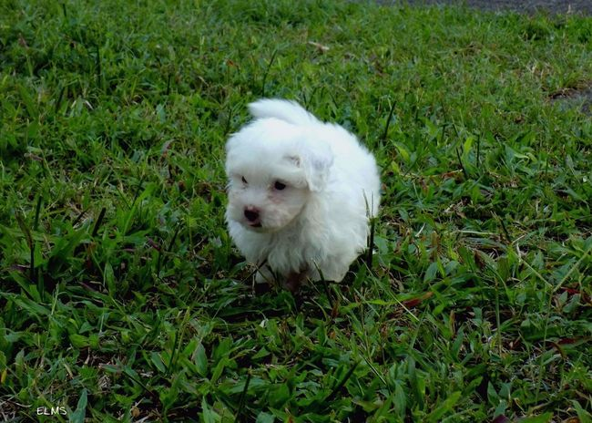 Pets Dog Bichon Maltese Bichon Grass Domestic Animals Photography Guadeloupe Photographie  Promoguadeloupe French West Indies Ig_caribbean Ig_guadeloupe Guadeloupeislands Antilles Françaises Caraïbe Frenchwestindies Gwada971 Gwada  ELMS Fwi EyeEmNewHere EyeEm Ready   AI Now