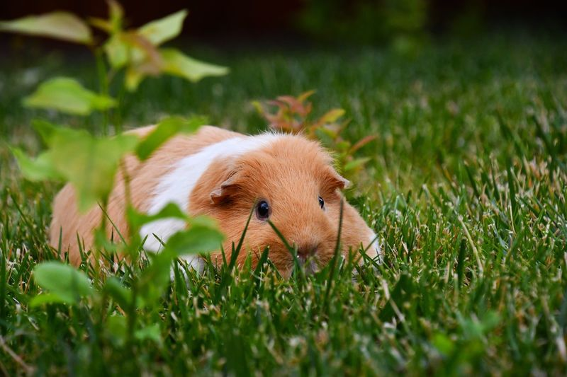Guinea pig on grassy field