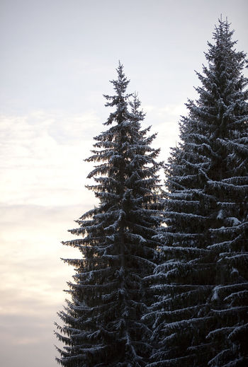 Tree Plant Sky Growth Beauty In Nature Nature Coniferous Tree No People Cold Temperature Tranquility Winter Pine Tree Snow Tranquil Scene Day Scenics - Nature Fir Tree Sunset Land Outdoors Evergreen Tree Holiday Moments
