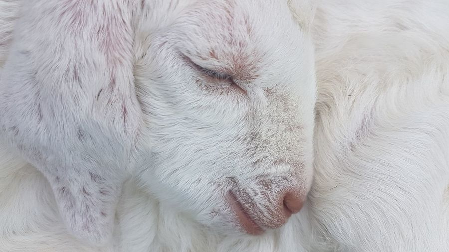 Baby Goat New Born Animal New Born Baby Goat No Edit/no Filter Mobile Photography Mobilephotography Pets Portrait Close-up Animal Eye Animal Hair Animal Head  Animal Body Part Animal Face