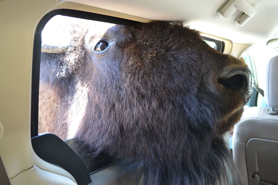 Bison Buffalo African Safari Wildlife Park Car Car Interior Close-up Day Mammal No People Ohio One Animal Vehicle Interior