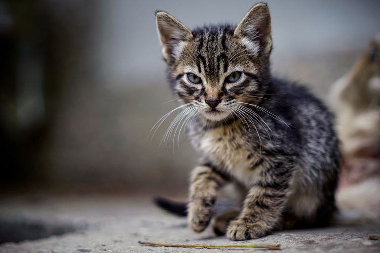 Mammal One Animal Pets Cat Domestic Feline Domestic Animals Domestic Cat Portrait Looking At Camera No People Focus On Foreground Whisker Young Animal Vertebrate Day Sitting Kitten Tabby Animal Eye