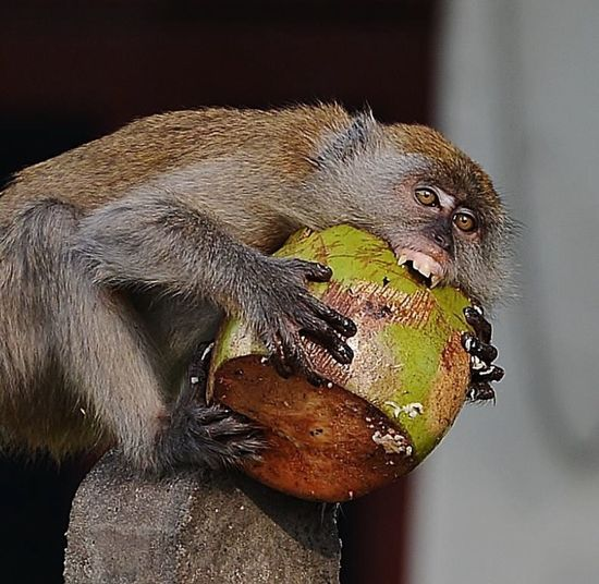 Angry And Hungry Monkey