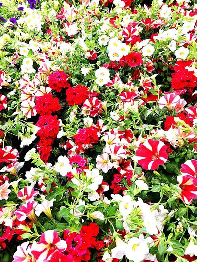 Flower Plant Flowering Plant Beauty In Nature Full Frame High Angle View Growth Nature No People