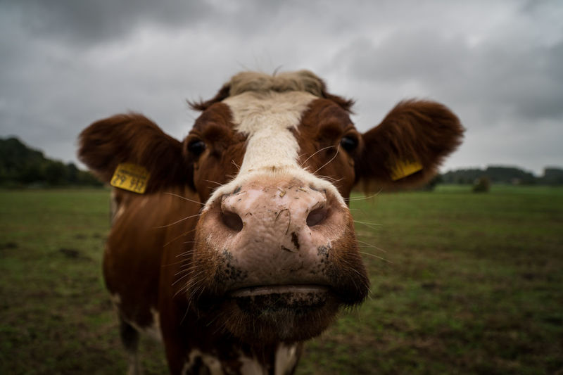 Domestic Domestic Animals Animal Animal Themes Mammal Pets Livestock Animal Head  No People Herbivorous Cow Farm Milk Milk Cow Close Up Funny Curious Farmer Countryside Grazing Spring Standing Summer Rural Ranch Portrait Agriculture Meat Beef Nature Nose Dutch Single Alone FUNNY ANIMALS Animal Head  Cow Head