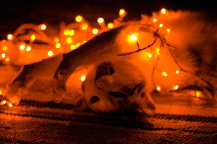 Funny cat Christmas Christmas Lights FUNNY ANIMALS Fun Light Run Cat Funny Faces Hide Night