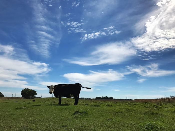 Cow standing on field against blue sky