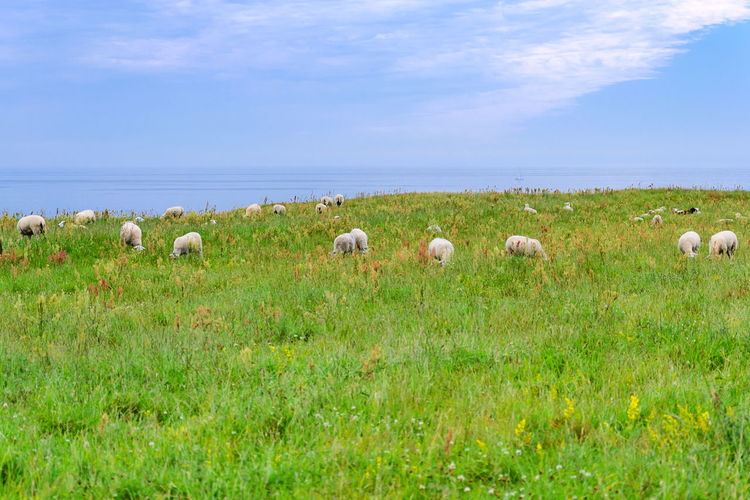 Landscape of the Baltic Sea coastline with sheeps on the meadow. Agriculture Baltic Coastline Farm New Zealand Scenery Pasture Scenic Cloud - Sky England Field Grass Irland Landscape Meadow Nature North Rural Scene Rurar Scenics Sea And Sky Sheep Sheeps Sky