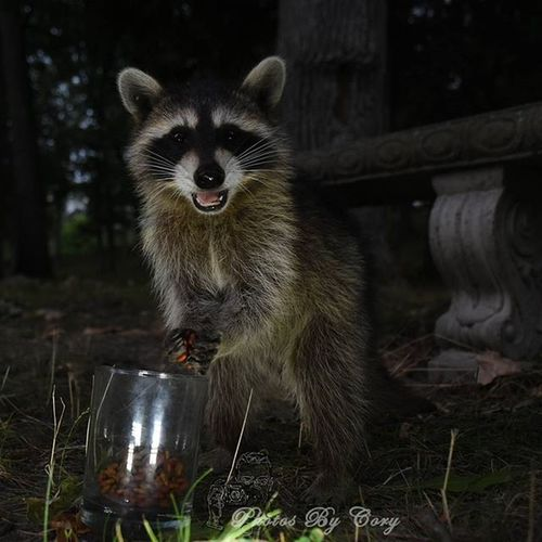 Hey mister, these are great! Luckywiththeanimals Raccoon Raccoons Wildlife Animallover Wildlifephotography Wildlifepark Photooftheday Instadaily Instanature Natureshots Natureseeker Natureonly Natures_hub Natures_cuties Animallover Animal_captures Wildlife_perfection