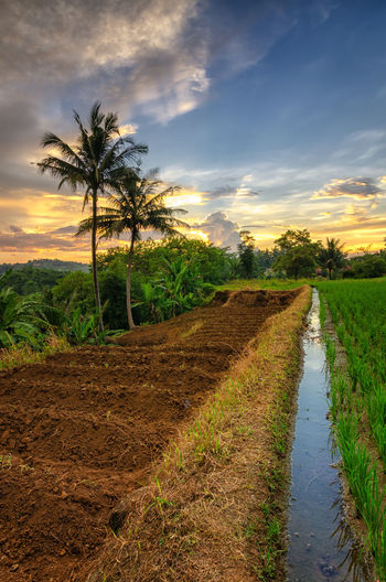 Ricefield and
