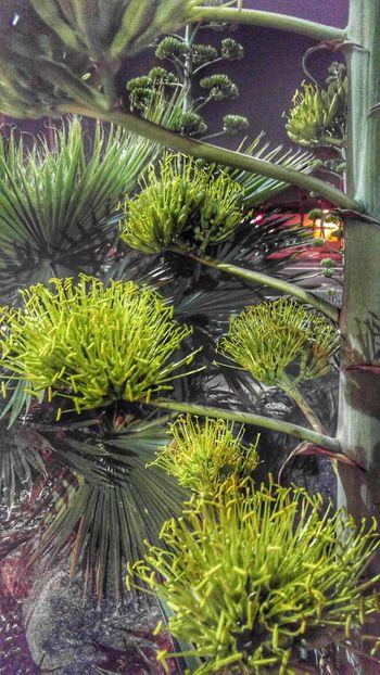 Agave spike Agave Agaveplant Agaveflowerspike Cactusflower