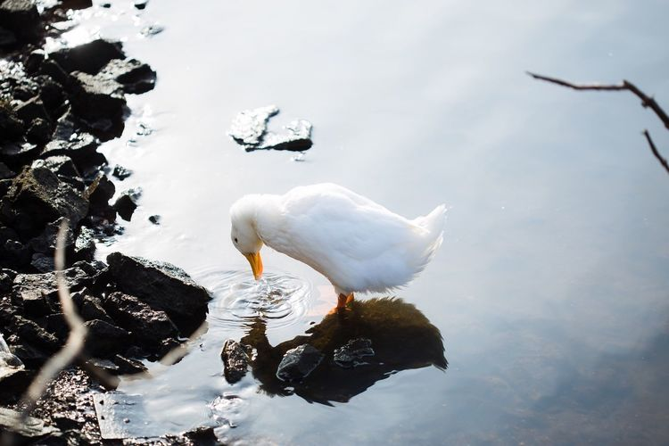 White duck No People Animal Themes Water Bird Animals In The Wild White Color Nature Outdoors Lake Day Animal Wildlife Beauty In Nature Duck