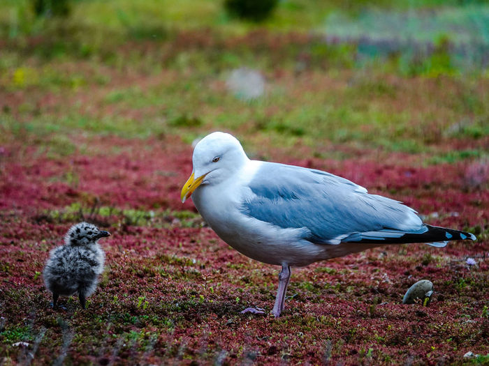 Gull Gull Chick Baby Birds Chick Chicken - Bird Wildlife Wildlife Photography Bird Photography Bird Seagull Birds Of EyeEm  Bird Perching Close-up Wildlife Seagull Sea Bird