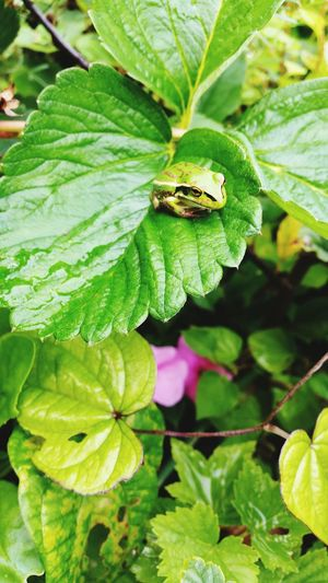 Animal Themes Insect Leaf Animals In The Wild Green Color One Animal Nature Close-up Animal Wildlife No People Growth Day Outdoors Plant Beauty In Nature Freshness frog Frog On Leave Lush Foliage Green Green Green!  Watching Alert Frog EyeEmNewHere
